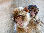 Berber monkey with baby