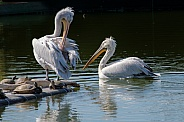 Pelicans and Turtles