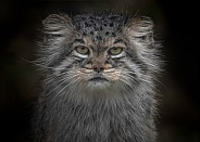 Pallas Cat Close Up Face Shot