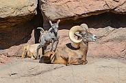Bighorn Lamb Antics