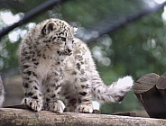 Snow Leopard Cub  - Not pin sharp at full resolution, but still fine for use as a reference photo.