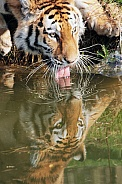 Siberian Tigeress