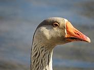 Barnyard Goose