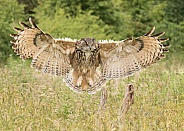 European Eagle Owl Landing