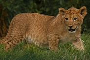 Lion Cub Full Body Shot Walking