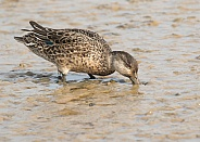 Female Teal Dabbling