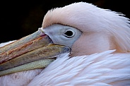 Pelican - Pelecanus onocrotalus