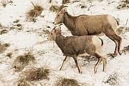 Mountain sheep ewe with lamb.