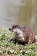 Eurasian/European Otter