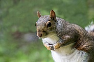 Grey Squirrel - The Bow