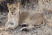 Young African Lioness