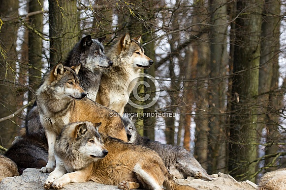 Wolf Pack. Grey Wolves