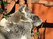 Koala (mother & baby)