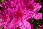 Pink Azaleas after a summer rain shower