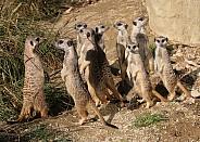 Meerkat Gang