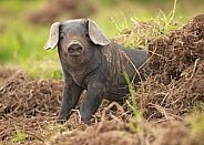 Rare Large Black Piglet in Mud