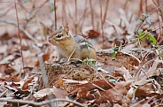 Winter Chipmunk