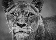 Tawny Lion