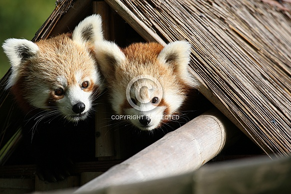 Male and Female Red Panda Peeking From Hut
