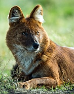 Dhole / Indian Wild Dog / Asian Wild Dog