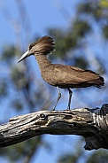Hammerkop - Chobe National Park - Botswana