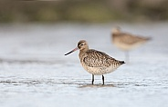 The bar-tailed godwit (Limosa lapponica)