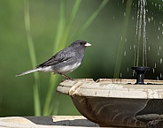 Dark-eyed Junco at the Birdbath