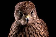 European Kestrel Close Up Black Background