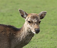 Deer Doe Facing