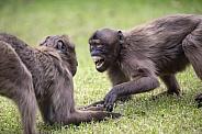 Gelada monkeys (Theropithecus gelada)
