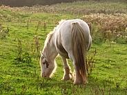 Pony grazing in evening sunlight