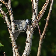 Black-Capped Chickadee Hiding Seeds