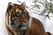 Sumatran Tiger Looking To The Side