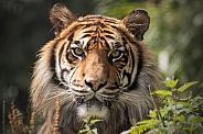 Sumatran Tiger Close Up Face Long Grass