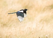 Common Magpie in Flight