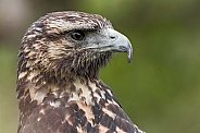 Juvenile Chilean Blue Eagle Side Profile