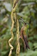Fawn-breasted Brilliant Hummingbird - Ecuador