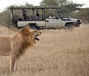 Tourists on Safari - Lion - Botswana
