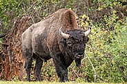 Bull Bison with big horns staring at camera