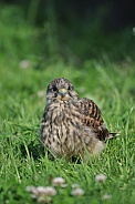 Common Kestrel Fledgling (Falco tinnunculus