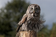 Great Grey Owl Full Body Ruffled Feathers