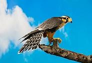 Aplomado Falcon on Branch