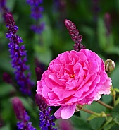 Pink rose amongst purple