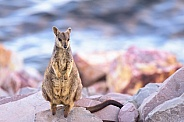 Rock Wallaby - Full Body almost facing camera
