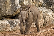 Asiatic Elephant Calf Running