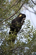 Yellow-Tailed Black Cockatoo (wild).