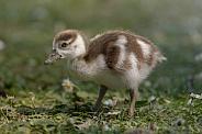 Nilgans Chick