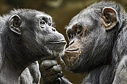 Chimpanzee's Grooming Each Other