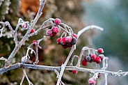 Winter berry,  European Holly