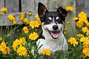 Tenterfield terrier (tricolor)